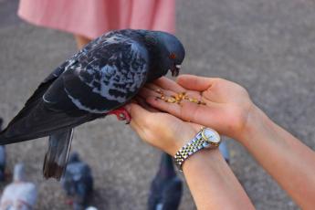 A person feeding a pigeon